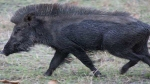 Wild boar attacks five people in UP'Tandeda village