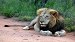 2 Lion tests positive for Covid-19 at Etawah Safari Park