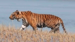 Happy high: Tiger population in Assam's Manas jumps to 46 from 30 last year