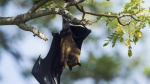 Bats from Mahabaleshwar cave found with Nipah Virus antibodies: Will it be the next pandemic?
