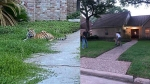 US: Missing Bengal tiger has been found safe, healthy, says Houston police