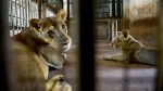 Four COVID-infected Tamil Nadu zoo lions are delta variants: AAZP