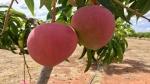 Miyazaki manogo: Couple grows world's costliest mango, priced at ₹2.70 lakh per Kg; 4 guards, 6 dogs deployed