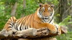 Tiger population in Assam jumped from 200 from 159 in 2018