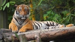International Tiger Day 2021: Theme, History, Significance and Quotes