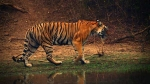International Tiger Day: Some interesting facts about this magnificent beast