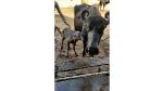 India's first Banni buffalo IVF calf born. Check out