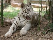 Beware trekkers! Wild tiger spotted in Bengaluru's Bannerghatta Biological Park