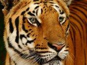 20 wild cats died in Bannerghatta park in last 15 months