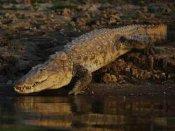 Goa confirms fully grown crocodile sighting on Morjim beach, pics go viral on social media