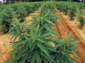 Chile harvests the largest legal marijuana plantation