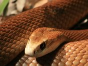 Zoologist discovers 'crying' snake in Arunachal Pradesh