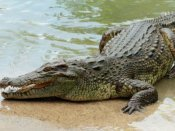 Video: Crocodile enters in a residential area in Firozabad