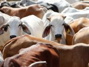 Faridabad: 'Beef smugglers' forced to eat cow dung