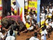 Jallikattu flashpoint: Cruelty, say PETA supporters; protesters claim sabotage