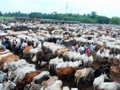 Suspected cow smugglers open fire at cops
