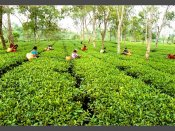 Darjeeling tea industry staring at Rs 250 crore loss
