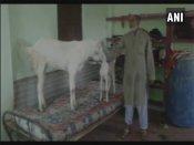 Goats get special treatment ahead of sacrifice