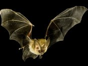 It's confirmed, fruit bats were responsible for Nipah outbreak in Kerala