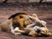 Gujarat HC to monitor steps taken to prevent lion deaths in Gir