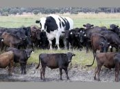 Why this Australian bull is a towering figure, literally