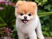 Netizens mourn passing away of 'Boo', world's 'cutest dog'