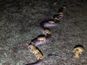 Can we have a lift? Scores of toads seen taking a ride on a python and Twitter is stunned