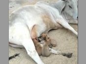 Cow 'adopts' puppies after lioness feeds leopard cub: Beauty of life's harmony