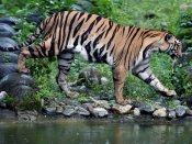 10-year-old tiger's carcass found at Corbett