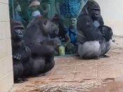 Hilarious! Gorillas human-like reaction to rain is winning hearts on the Internet