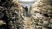 Growing demand for ivory puts elephant at risk