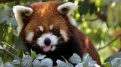 Darjeeling zoo to release 4 red pandas this October