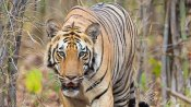 Is canine distemper a lurking threat to the big cats?