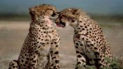 Can India bring cheetahs back into the wild?