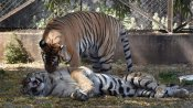 1 female and 2 male tigers present in Palamau Tiger Reserve