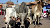 9,261 cattle died in UP shelters in 2019, death due to natural causes