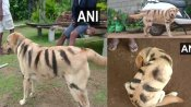 Karnataka farmers paint dogs to look like tiger to protect crops