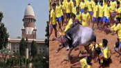 Won't stop Jallikattu: SC refuses to stay bull festival, asks petitioners to approach high court