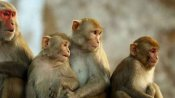 Over a dozen people injured after being attacked by Monkeys in Odisha