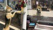Adorable lost Dog walks into local police station to report himself 'missing', then returns home