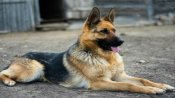 7-year-old Buddy, 1st dog to test positive for COVID-19 dies in New York