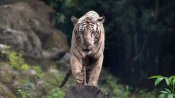 International Tiger Day 2020: India has 70 per cent of global tiger population