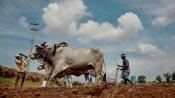 Centre says MSP procurement of kharif paddy begins immediately in Punjab, Haryana