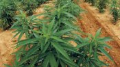 Goa govt's law department gives nod for ganja cultivation, opposition sees red