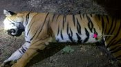 Tigress Avni killed per court order: SC refuses contempt action