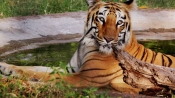 Royal Bengal Tiger found dead in Bihar