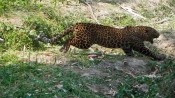 UP: Leopard attacks farmer, he grapples with it for 10 mins before help came
