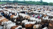 After Centre's ban on sale of cattle for slaughter, Cows up