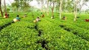 Darjeeling tea industry staring at Rs 250 crore loss