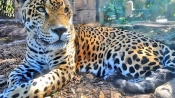 Jaguar in US zoo escapes cage and mauls 6 animals